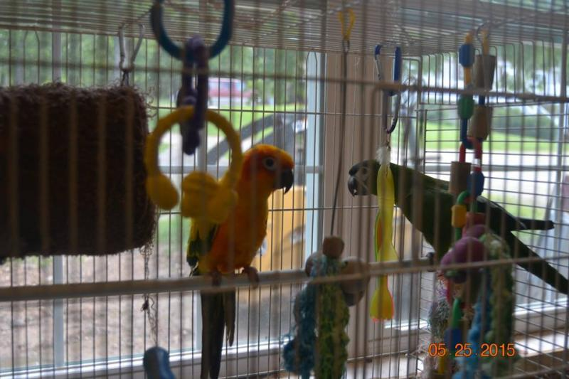 Molly B, and Rocko, both Conures